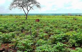 Growing manioc field.