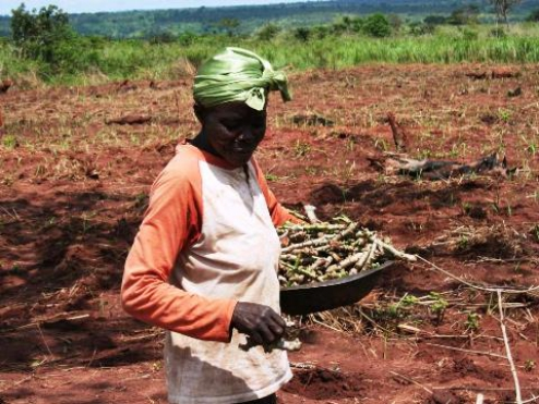 The focus is on cultivating manioc