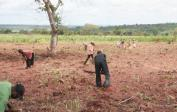 Jean leads the workers in preparing 5 hectares for a new crop of manioc.