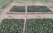 1,100 palm nut seedlings next to our school