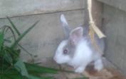 Neue Kaninchen für veterinäre Ausbildung