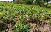 cassava growing behind the school